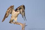 31074r - Osprey
