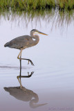 30426c - Great Blue Heron