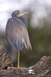 39355c  - Tricolor Heron