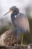 39371c - Tricolor Heron