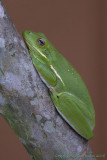 39487 - Tree Frog