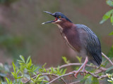 39305Rc - Green Heron