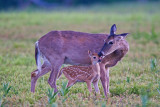 49520c - fawn with mother