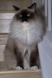 Ragdoll Cats & Kittens