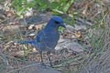 4027 Mexican Jay