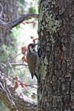 4055 Arizona Woodpecker