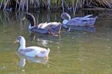 0016 domestic ducks, mixed breeds