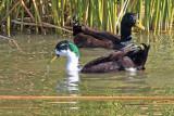 0017 domestic ducks, mixed breeds