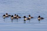 0020 Ring Necked Ducks