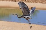 0094 Great Blue Heron