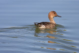 0112 Northern Pintail, female