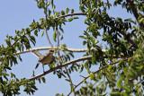 0139 Northern Mockingbird