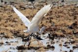 0180 Great Egret
