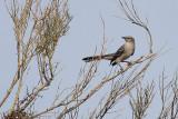 Mockingbird, Northern 0315