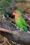 Lovebird, Peach Faced 0430