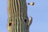0637 Gila Woodpeckers