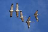 0859 Sandhill Cranes