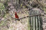 2099 Northern Cardinal, male