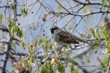 2327 House Sparrow