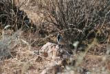 1632 Black Throated Sparrow