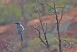 1393 Mexican Jay
