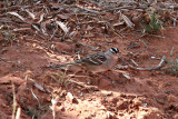 Sparrow, White Crowned 5296
