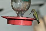 Hummingbird, Magnificent 5332