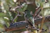 Hummingbird, Anna's 5431