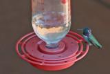 Hummingbird, Costa's 5469