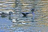 5542 Wood Duck