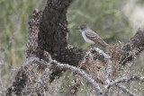 Flycatcher, Ash Throated 0964
