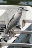 1016 Black Crowned Night Heron