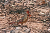 4610 Northern Cardinal, female