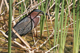 Heron, Green 4651