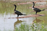 Cormorant, Double Crested (right) 8039