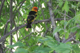 Tanager, Western 8161