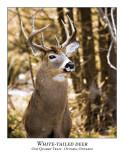 White-tailed Deer-008