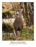 White-tailed Deer-009