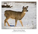 White-tailed Deer-010