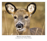 White-tailed Deer-011
