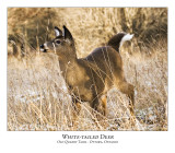 White-tailed Deer-012