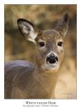 White-tailed Deer-013