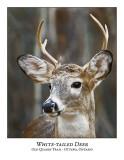 White-tailed Deer-014