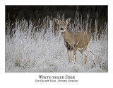 White-tailed Deer-015
