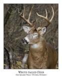 White-tailed Deer-017