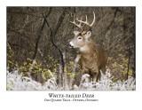 White-tailed Deer-018
