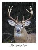 White-tailed Deer-019