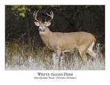White-tailed Deer-020
