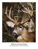 White-tailed Deer-021