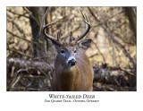 White-tailed Deer-022